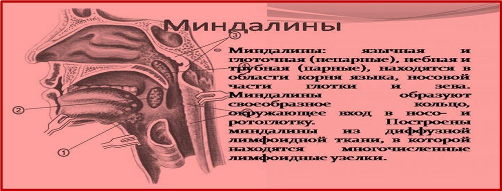 Миндалины