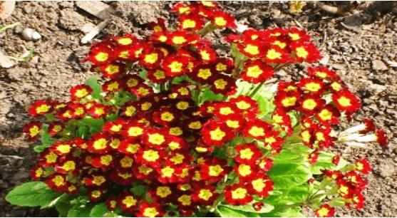 Соцветия первоцвета в «Синупрете» при аденоидах у детей